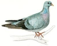 Colombe de barre ou pigeon de barre (oenas de Columba) Image libre de droits