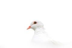 Colombe de blanc Photo stock