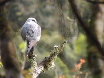 Colombe de faucon Photos libres de droits