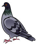 Colombe de pigeon Photos libres de droits