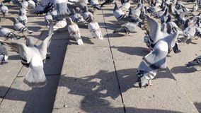 Colombe della città che combattono per il pezzo di pane sul quadrato principale della città azione Una moltitudine di piccioni ne video d archivio