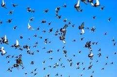 Colombe di volo Fotografie Stock