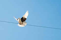 Colombe en ciel. Pigeon Photographie stock