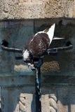 Colombe Grèce Rhodos de pigeon Photo libre de droits