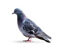 Colombe grise de pigeon Photos libres de droits