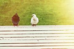 Colombe noire et blanche se reposant sur un banc Image libre de droits