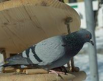 Colombe-oiseau alimentant à la cuvette image stock