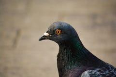 Colombe, oiseau, gris, paix, yeux, bec, plume, surprise, tête de profil Images stock