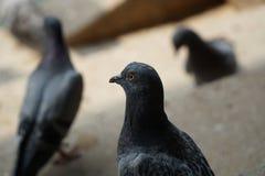 Colombe ou pigeon sur le plancher Images libres de droits