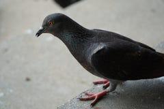 Colombe ou pigeon sur le plancher Photo stock