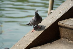 Colombe ou pigeon sur le plancher Photo libre de droits