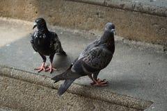 Colombe ou pigeon sur le plancher Photos libres de droits