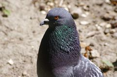 Colombe/pigeon Photo libre de droits