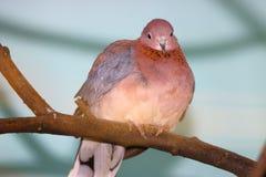 Colombe riante de brun rosâtre étant perché sur une branche Images libres de droits