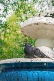 Colombe se reposant sur la fontaine photographie stock libre de droits