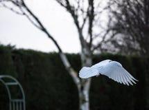 Colombe solitaire vue dans le mi-vol, montrant le détail des ailes et de la queue Photo stock