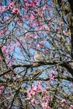 Colombe sur l'arbre des fleurs Images libres de droits