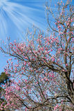 Colombe sur l'arbre des fleurs de pêche Photo libre de droits