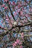Colombe sur l'arbre des fleurs roses Photographie stock libre de droits