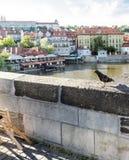Colombe sur le parapet de Charles Bridge, Prague photographie stock