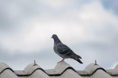 Colombe sur le toit Image libre de droits