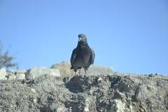 Colombe sur une roche avec un ciel bleu Image libre de droits
