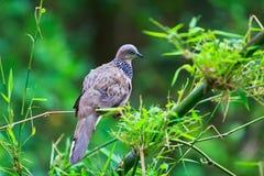Colombe tropicale dans le sauvage Photo libre de droits