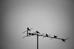 Colombes abstraites étant perché sur l'antenne de TV Ton noir et blanc Photographie stock