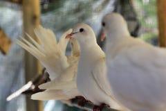 Colombes blanches sur une perche Image libre de droits