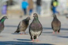 Colombes colorées, pigeons marchant au soleil photographie stock