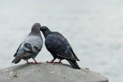 Colombes dans l'amour Photo libre de droits