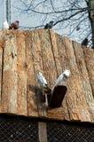 colombes deux Photo libre de droits