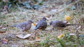 3 colombes moulues forageant dans le Texas en automne Photographie stock libre de droits