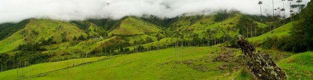 Colombia Coffee Region. Coffee trees and tall wax palm trees, the national tree of Colombia in the mist and the hills surrounding the coffee growing town of royalty free stock photos