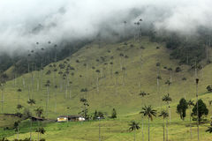 Colombia, salento. The big palm trees in salento colombia Stock Image