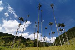 Colombia, Wax palm trees of Cocora Valley stock images