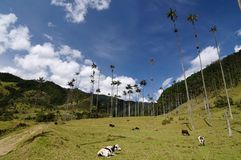 Colombia, Wax palm trees of Cocora Valley. Colombia, Cocora valley near Salento has an enchanting landscape of pinies and eucalyptus towered over by the famous stock image