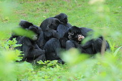 Colombian black spider monkeys Stock Photo