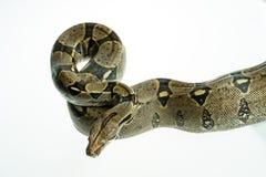 Colombian Boa. Stock Image