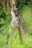 Colombian brown spider monkey. Holding a tree Royalty Free Stock Image