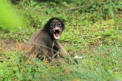 Colombian brown spider monkey. The screaming colombian brown spider monkey Royalty Free Stock Image