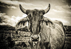 Colombian Bull Royalty Free Stock Image