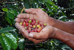 Colombian coffee farm hands Royalty Free Stock Photo