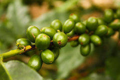 Colombian coffee plantation Stock Photography