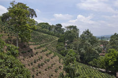 Colombian coffee plantation. In Armenia Royalty Free Stock Photos