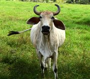 Colombian cow. In the pasture Stock Photos