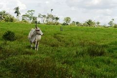 Colombian cow. In the pasture Stock Photography