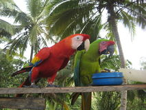 Colombian Macaws Stock Images