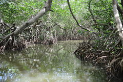 Colombian Mangrove 1 Royalty Free Stock Photography
