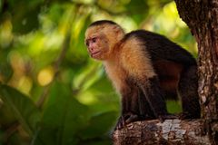 Colombian white-faced capuchin Cebus capucinus, Colombian white-headed capuchin or Colombian white-throated capuchin. New World monkey of the family Cebidae royalty free stock photo